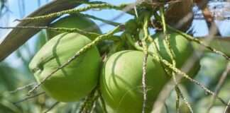 Bali college Tuition fees Coconuts