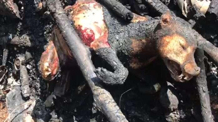 dog burn