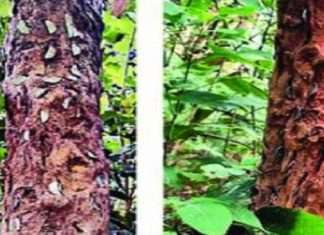 Superstition of devotees in Bhimashankar on the life of trees!