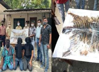 Patteri tiger skin and paw smuggling gang caught by police