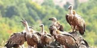 Vultures on the verge of extinction at Tansa Sanctuary