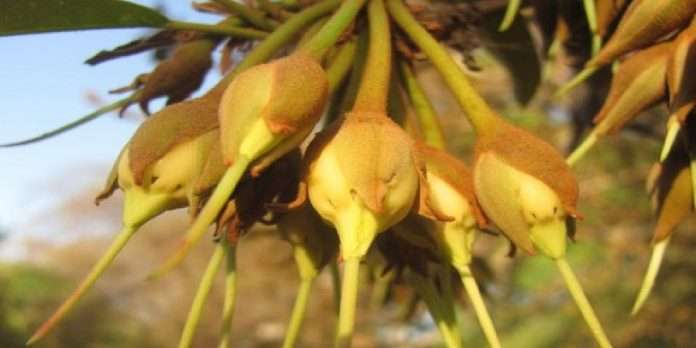 Maha Vikas Aghadi government's decision to lift restrictions on baccaurea ramiflora flowers