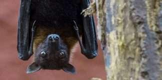 Nipah virus in two bats found in Mahabaleshwar cave - NIV