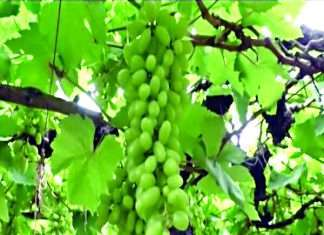 Early grapes