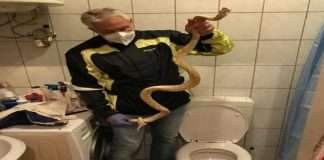 65 years old man Sat on commode and was bitten by snake in austria