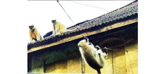 annoyance of monkey at panvel kelvane village