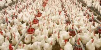 Poultry traders continue to be deceived by poultry companies