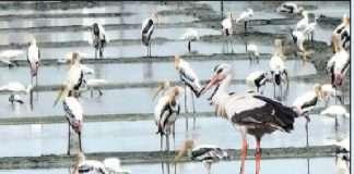 Painted stork parties arrive in Naigaon vasai