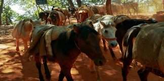 Death of a horse in Matheran due to negligence of the system