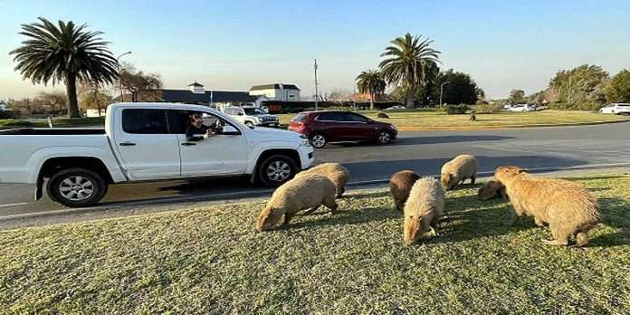 world largest mouse rodent capybaras creating havoc in argentina