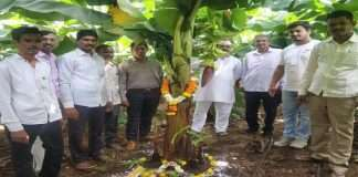 Bananas from Khandesh flourished in the soil of Raigad