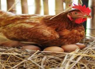 after shravan and ganeshotsav Chicken, Egg Price Hike