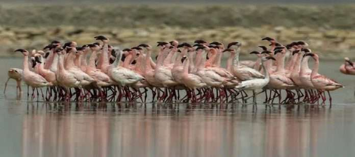 Broke firecrackers to drive out swarms of flamingos