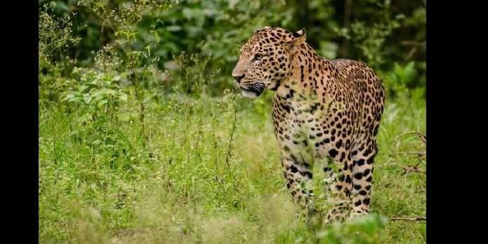 suspicious death leopard shahapur ghatalpada