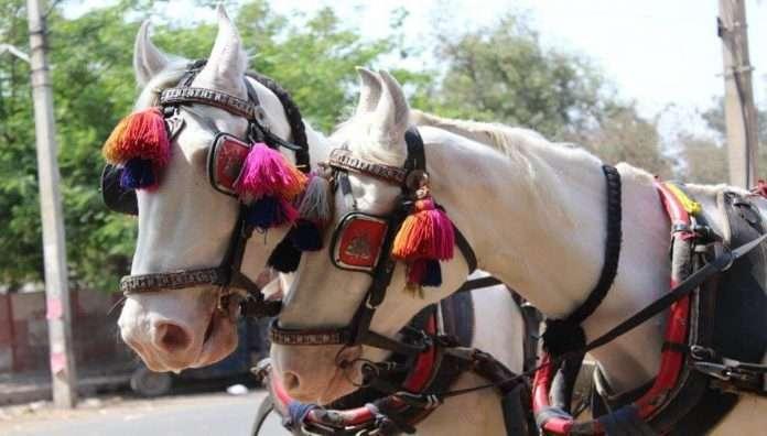Using horses at wedding ceremonies is abusive and cruel said peta