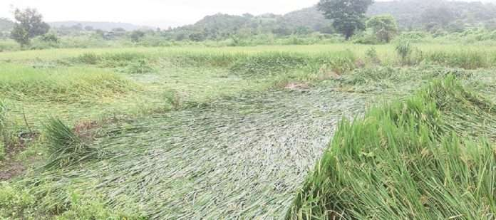 Harvesting stalled due to return rains in Pen
