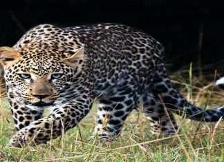 4 goats killed in leopard attack in karjat